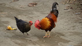 Κόκκορας μια κότα Στοκ Φωτογραφίες
