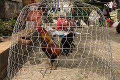 Κόκκορας πάλης στο κλουβί στην οδό Στοκ Εικόνες