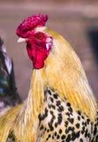 κόκκορας Πουλί κοκκόρων Κόκκορας πουλερικών Στοκ φωτογραφία με δικαίωμα ελεύθερης χρήσης