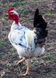 Κόκκορας πουλιών Στοκ φωτογραφίες με δικαίωμα ελεύθερης χρήσης