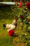 Κόκκορας που περπατά σε ένα αγρόκτημα χωρών στοκ εικόνες