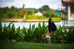 Κόκκορας στη χλόη στο πάρκο Στοκ εικόνες με δικαίωμα ελεύθερης χρήσης