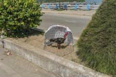 Κόκκορας στο Βιετνάμ στην οδό στην ηλιόλουστη ημέρα Στοκ φωτογραφία με δικαίωμα ελεύθερης χρήσης