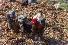Κόκκορας στο παραδοσιακό ελεύθερο φάρμα πουλερικών σειράς Στοκ φωτογραφίες με δικαίωμα ελεύθερης χρήσης