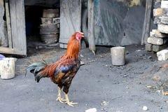 Κόκκορας στο antsirabe, Μαδαγασκάρη Στοκ Φωτογραφίες