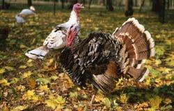 κόκκορας Τουρκία στοκ φωτογραφία με δικαίωμα ελεύθερης χρήσης