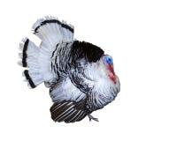 κόκκορας Τουρκία Στοκ Εικόνες
