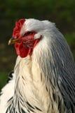 Κόκκορας, brahma (κοτόπουλο) Στοκ εικόνα με δικαίωμα ελεύθερης χρήσης