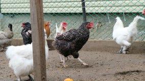 Κόκκορες και κοτόπουλα που περπατούν στο έδαφος από το κοτέτσι Αγροτική έννοια εγχώριου eco φιλμ μικρού μήκους