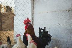 κόκκορες κοτόπουλων Στοκ φωτογραφίες με δικαίωμα ελεύθερης χρήσης