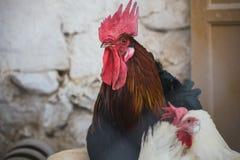 κόκκορες κοτόπουλων Στοκ εικόνα με δικαίωμα ελεύθερης χρήσης
