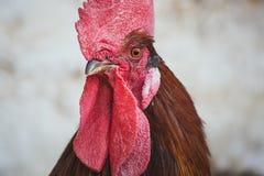 κόκκορες κοτόπουλων Στοκ Φωτογραφίες
