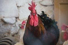 κόκκορες κοτόπουλων Στοκ φωτογραφία με δικαίωμα ελεύθερης χρήσης