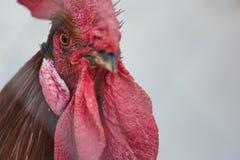 κόκκορες κοτόπουλων Στοκ Εικόνα