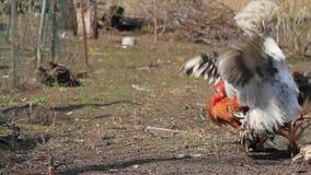 Κόκκορες που περιβάλλουν και που επιτίθενται ο ένας τον άλλον στο chikenfarm απόθεμα βίντεο