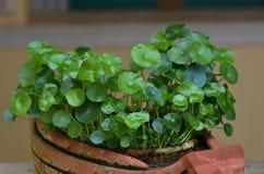 Κόλα Gotu, Centella Asiatica Λ Urb Στοκ Φωτογραφίες