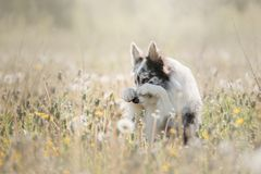 Κόλλεϊ συνόρων σκυλιών σε έναν τομέα Στοκ εικόνα με δικαίωμα ελεύθερης χρήσης