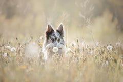 Κόλλεϊ συνόρων σκυλιών σε έναν τομέα Στοκ εικόνες με δικαίωμα ελεύθερης χρήσης