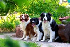 Κόλλεϊ συνόρων τριών σκυλιών στοκ φωτογραφία