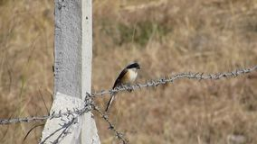 Κόλπος-υποστηριγμένο shrike πουλί, που κάθεται Barb στο καλώδιο φιλμ μικρού μήκους