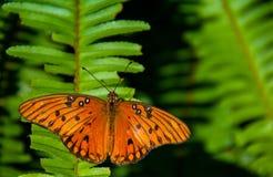 Κόλπος Fritillary που λιάζει σε ένα φύλλο φτερών στοκ εικόνες