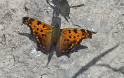 κόμμα πεταλούδων ανατολ&iot Στοκ φωτογραφία με δικαίωμα ελεύθερης χρήσης