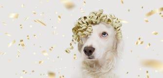 Κόμμα σκυλιών εμβλημάτων παρόν Γενέθλια εορτασμού κουταβιών, επέτειος, καρναβάλι ή νέο έτος με μια χρυσή κορδέλλα στο κεφάλι r στοκ φωτογραφία