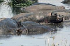 Κόμμα Τανζανία Tom Wurl λιμνών Hippopotamus Στοκ εικόνες με δικαίωμα ελεύθερης χρήσης