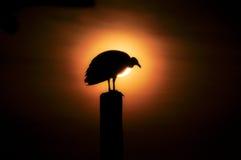 Κόνδορας του Αμαζονίου Στοκ Φωτογραφίες