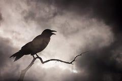 Κόρακας ή κοράκι που στηρίζεται σε έναν άγονο κλάδο δέντρων Στοκ Εικόνες