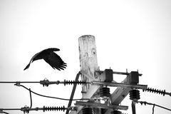 Κόρακας που πετά από έναν ηλεκτρικό πόλο στοκ εικόνες