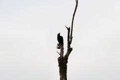 Κόρακας που σκαρφαλώνει μαύρος στους κλάδους Στοκ Φωτογραφία