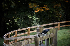 Κόρακας σε έναν φράκτη Στοκ φωτογραφία με δικαίωμα ελεύθερης χρήσης