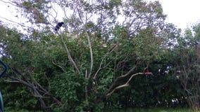Κόρακας σε ένα ιώδες δέντρο Στοκ Εικόνα