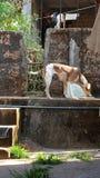 Κόρακας σκυλιών ν που περιμένει την ομορφιά φύσης τροφίμων στοκ φωτογραφία με δικαίωμα ελεύθερης χρήσης