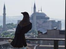 Κόρακας στη Ιστανμπούλ στοκ εικόνες