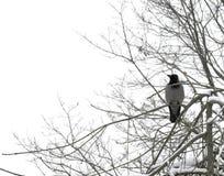 κόρακας Στοκ φωτογραφίες με δικαίωμα ελεύθερης χρήσης