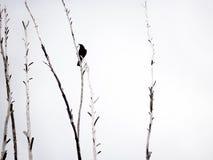 κόρακας Στοκ φωτογραφία με δικαίωμα ελεύθερης χρήσης