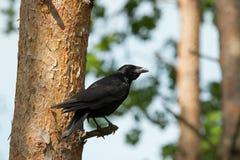 Κόρακας Carion σε ένα κωνοφόρο δέντρο Στοκ φωτογραφία με δικαίωμα ελεύθερης χρήσης