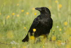 κόρακας corvus corone carrion στοκ εικόνες