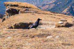 Κόρακας Himalayan σε Chandrashila μέγιστο Chopta Tungnath Uttrakhand Στοκ Εικόνες