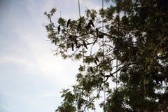 Κόρακες που κάθονται σε έναν κλάδο σε ένα δέντρο στο βράδυ Στοκ Εικόνα