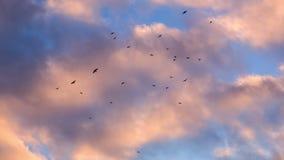 Κόρακες που πετούν πέρα από τα ρόδινα σύννεφα απόθεμα βίντεο