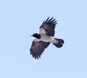 Κόρακες που πετούν στον ουρανό Στοκ Φωτογραφίες