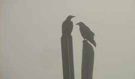 Κόρακες στην ομίχλη Στοκ εικόνες με δικαίωμα ελεύθερης χρήσης