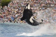 κόσμος θάλασσας orca Στοκ φωτογραφίες με δικαίωμα ελεύθερης χρήσης