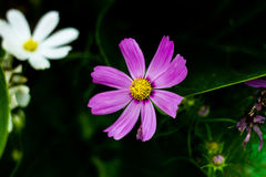 Κόσμος, λουλούδι Στοκ φωτογραφίες με δικαίωμα ελεύθερης χρήσης