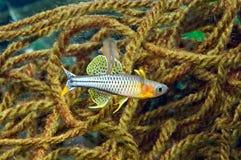 κόσμος ύδατος gertrudae aru pseudomugil Στοκ Φωτογραφία