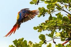 Κόστα Ρίκα, ερυθρό macaw, Ara Μακάο ή Arakanga Στοκ Φωτογραφίες