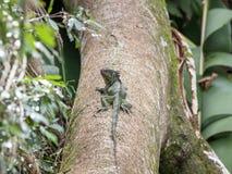 Κόστα Ρίκα Iguana στοκ εικόνα με δικαίωμα ελεύθερης χρήσης